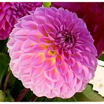 Dahlia Tubers - Purple Collection