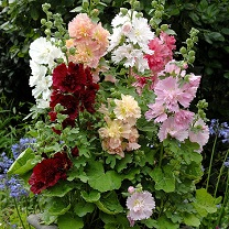 Image of Alcea Plants - Spring Celebrities