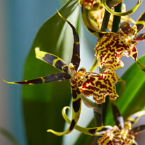 Orchid Plant - Brassia Summer Dream