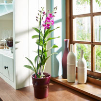 Orchid Plant - Denbrobium Sa-Nnok Purple Happiness