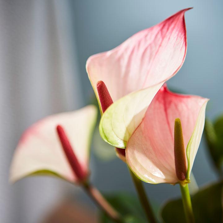 Anthurium Plant - Amalia Elegance