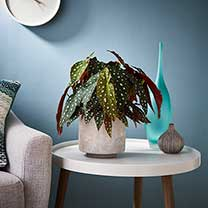 Houseplant Begonia Maculata