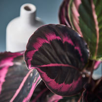 Houseplant Calathea Little Princess