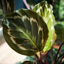Houseplant Calathea Rosea-picta Medallion
