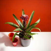 Tropical Houseplant Guzmania Francesca