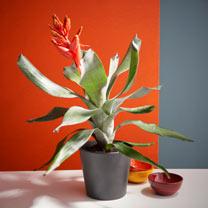 Tropical Houseplant Aechmea Pepita Elegant Flames