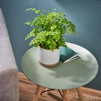 Houseplant Adiantum raddi. Fragrans Maidenhead Fern