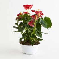 Anthurium Table Top Plant - Red