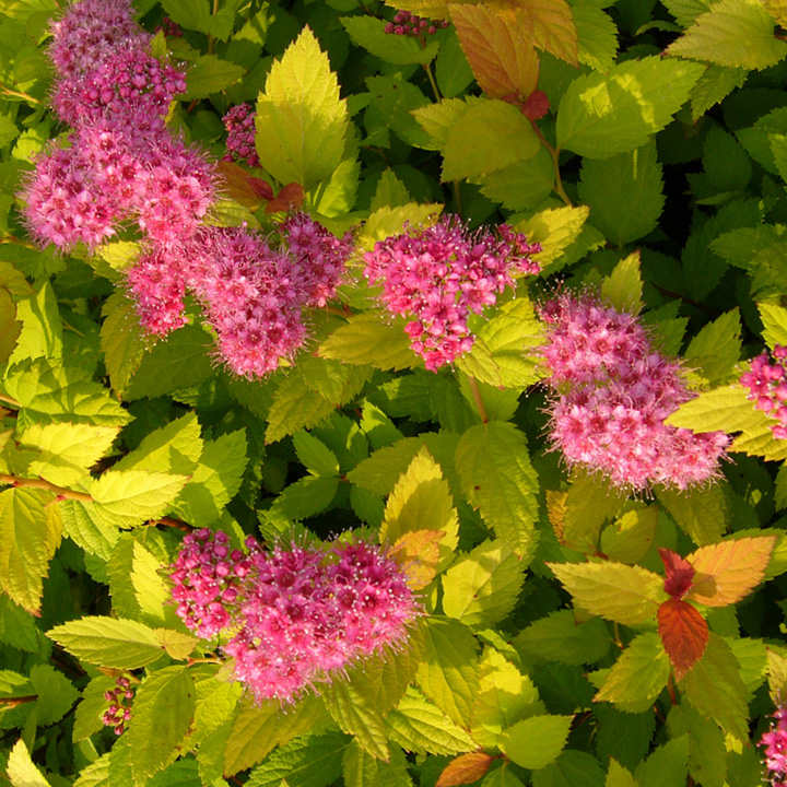 Spirea japonica Plant - Magic Carpet