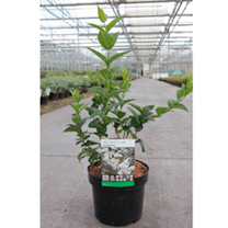 Abeliophyllum distichum Plant