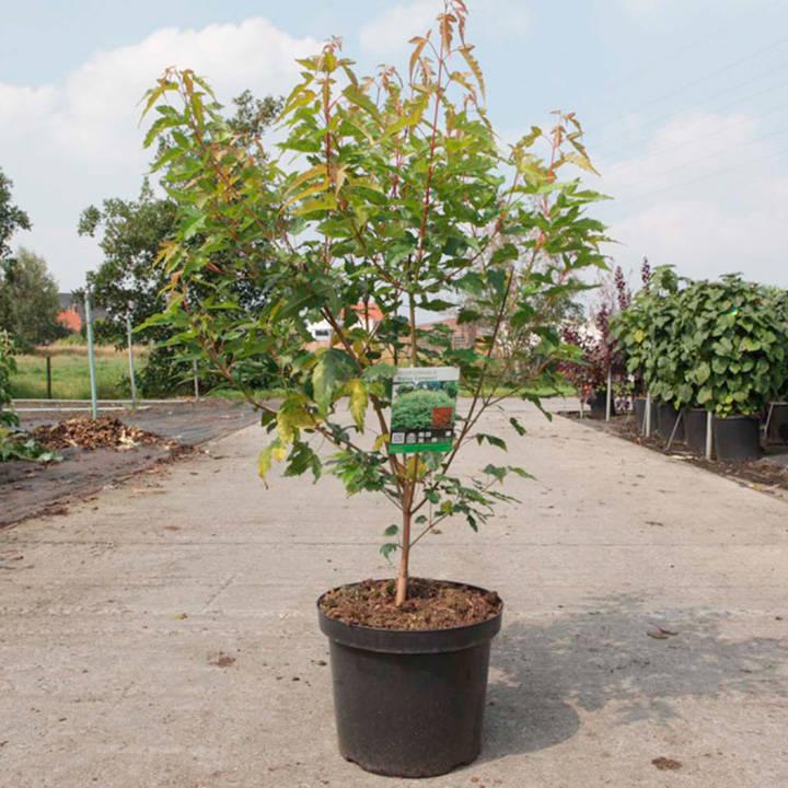 Acer ginnala Plant - Bailey Compact