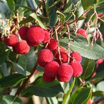 Arbutus unedo Plant