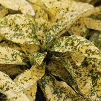 Acuba japonica Plant