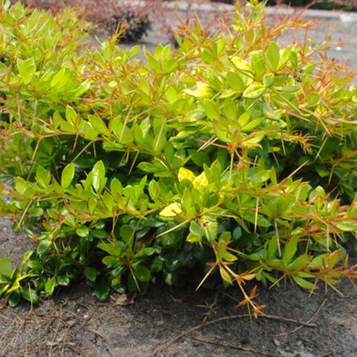 Berberis media Plant - Dual Jewel