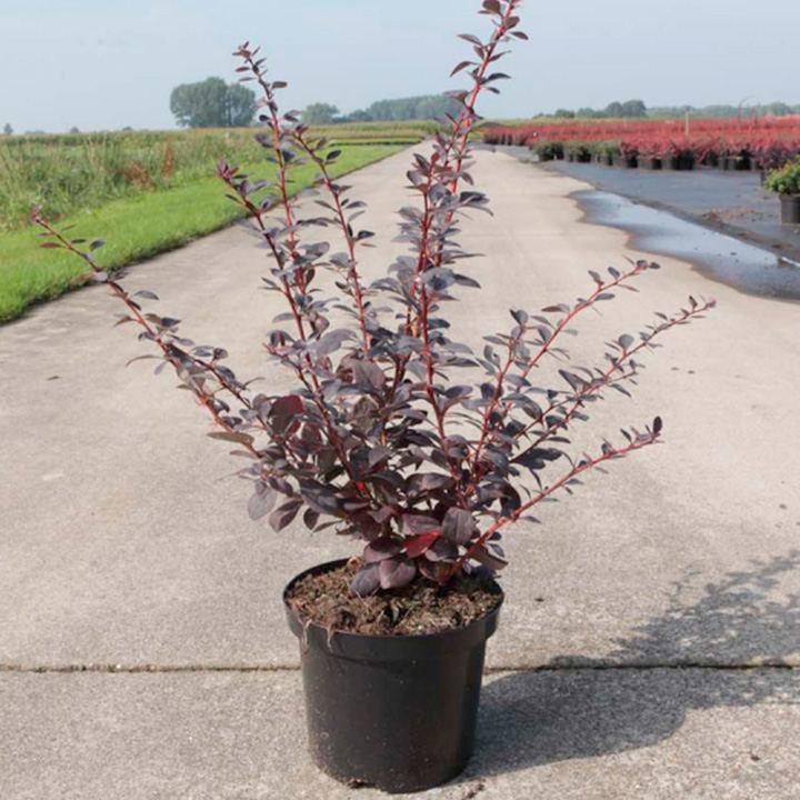 Berberis ott. Plant - Auricoma