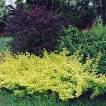 Berberis thunbergii Plant - Golden Carpet