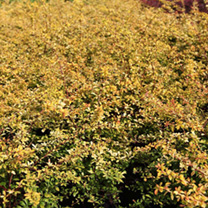 Berberis thunbergii Plants - Golden Dream