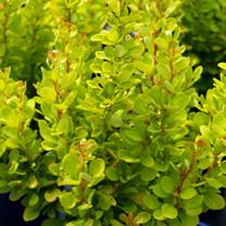 Berberis thunbergii Plant - Golden Rocket