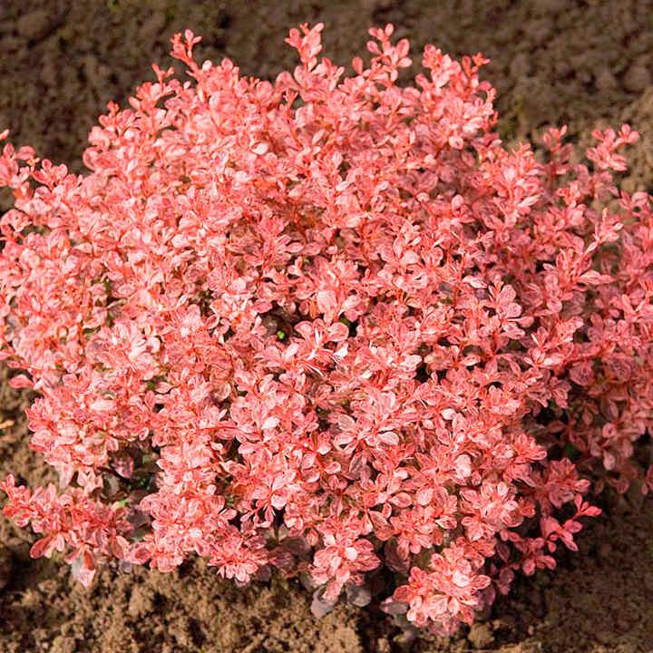 Berberis thunbergii Plant - Inspiration