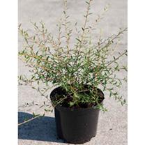 Buddleia alternifolia Plant