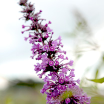 Buddleia ARGUS Velvet is a butterfly bush with beautiful purple flowers. It has been modified to not produce seeds thereby controlling its spread. It