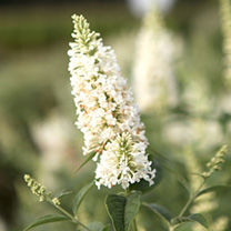 Buddleia Argus White is a butterfly bush with beautiful pure white flowers. This cultivar is semi-sterile. It is recommended to prune the plant each y