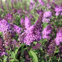 Buddleia davidii Plant - Lilac Chip