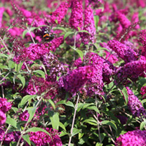 Buddleia davidii Plant - Miss Ruby