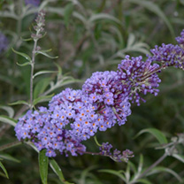 Buddleia davidii 'Nanho Blue (properly known as Buddleia davidii Mongo) is a dwarf butterfly bush, making an ideal choice for a smaller garden. Blue-p