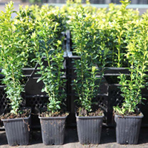 Buxus sempervirens, a very useful evergreen shrub with small leaves that provides essential structure to a garden be it for elaborate parterres or as