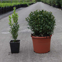 Buxus sempervirens Plant - Topiary Ball