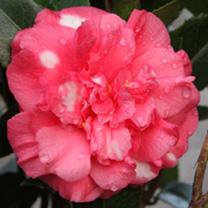 Camellia japonica Plant - Daikagura