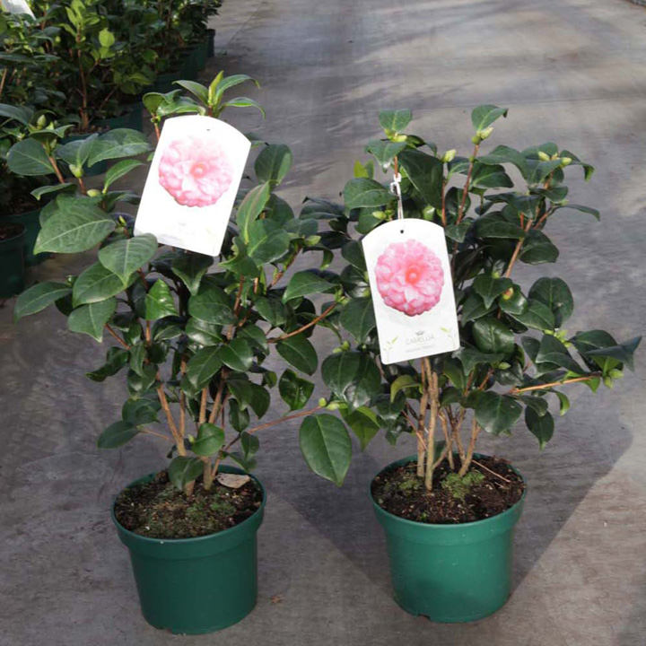 Camellia Japonica Plant Virginia Franco Trees And Shrubs