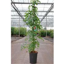 Campsis radicans Plant - Flamenco