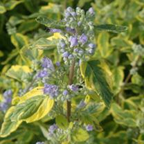 Caryopteris clandonensis Plant - Summer Sorbet