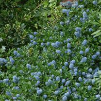 Ceanothus thyrs. Repens Plant