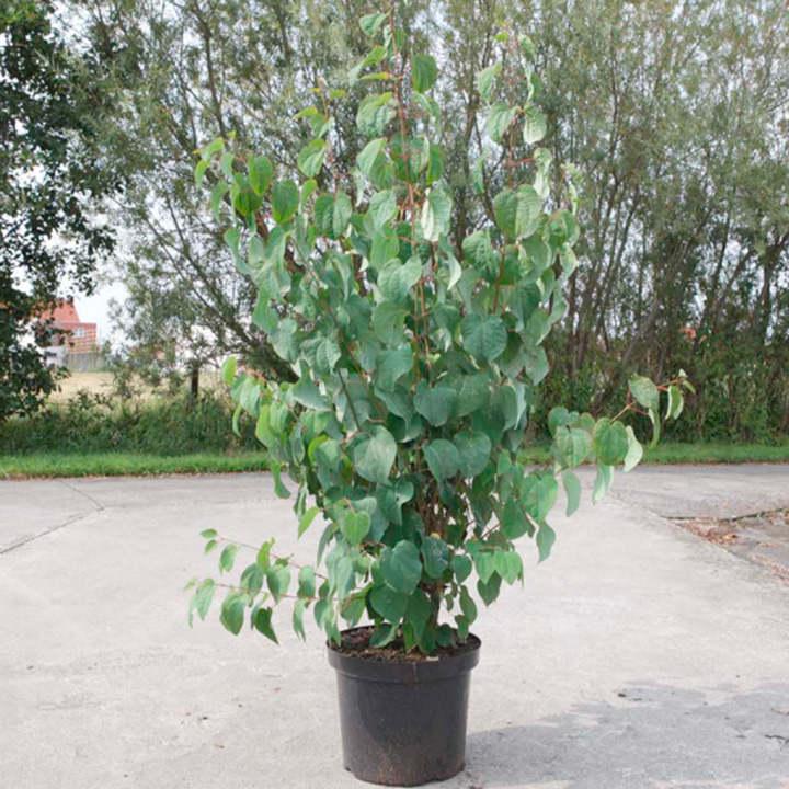Cercidiphyllum japonicum Plant