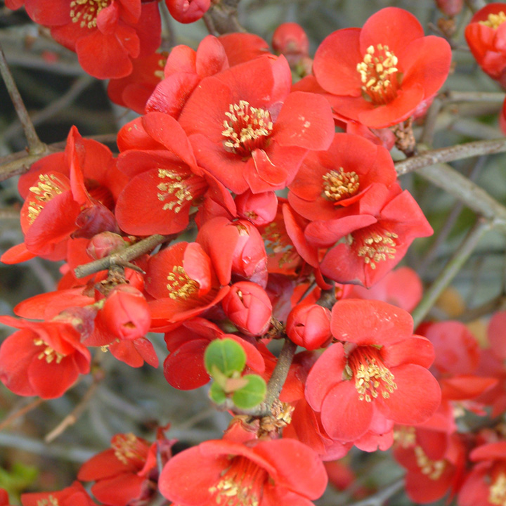 Chaenomeles superba Plant - Crimson and Gold