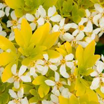 Choisya ternata Plant - Sundance®