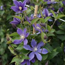Clematis Plant - Arabella