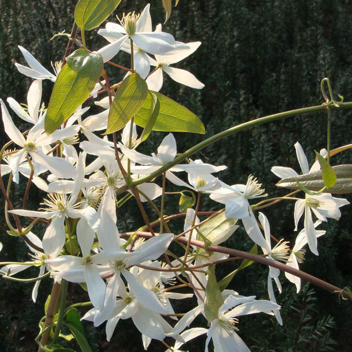 Picture of Live Evergreen Clematis aka Clematis armandii Plant Fit 5 Gallon Pot