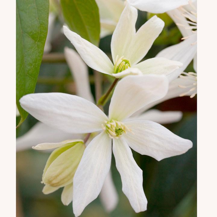 Clematis armandii Plant