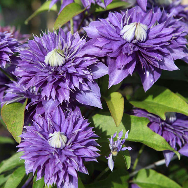 clematis plant multi blue trees and shrubs flowers garden dobies. Black Bedroom Furniture Sets. Home Design Ideas