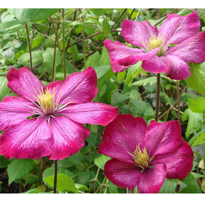clematis plant ville de lyon trees and shrubs. Black Bedroom Furniture Sets. Home Design Ideas