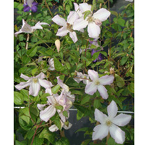 Clematis viticella Plant - Little Nell