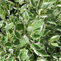 Cornus alba Plant - Ivory Halo Noble