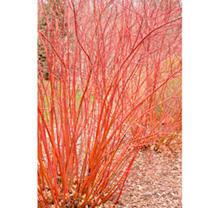 Cornus sericea Plant - Baileyi