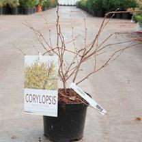 Corylopsis pauciflora Plant