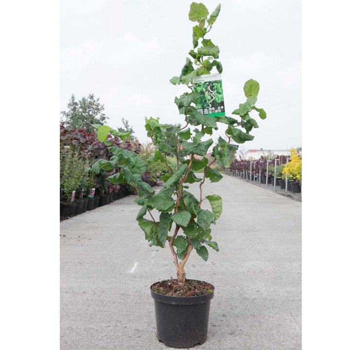 Corylus avellana Plant - Contorta