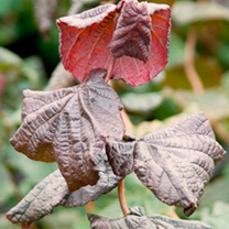 Corylus avellana Plant - Red Majestic